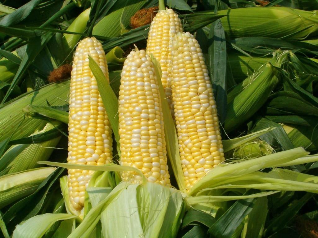 Belluz_corn